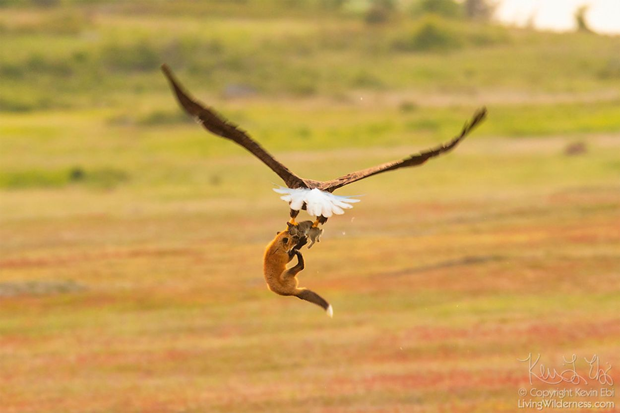 5b07de902f21f-wildlife-photography-eagle-fox-fighting-over-rabbit-kevin-ebi-14-5b0662f18d04a__880