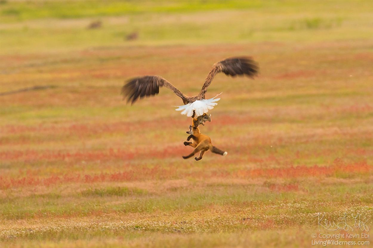 5b07de9131977-wildlife-photography-eagle-fox-fighting-over-rabbit-kevin-ebi-15-5b066362d8ec7__880