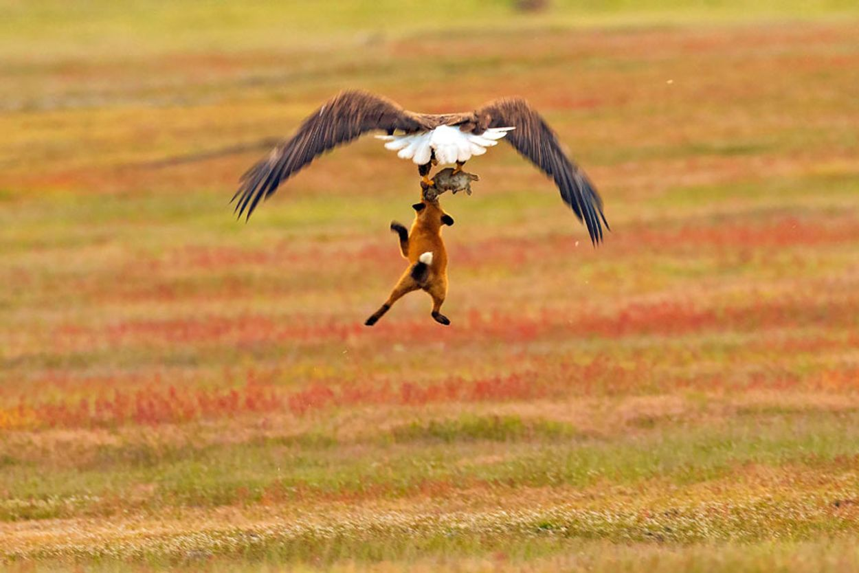 5b07de907de49-wildlife-photography-eagle-fox-fighting-over-rabbit-kevin-ebi-6-5b0661edc4434__880