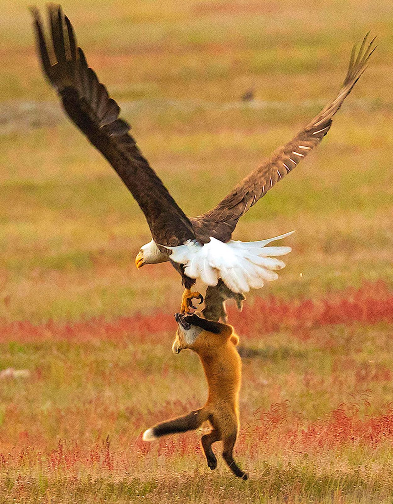 5b07de91df2e4-wildlife-photography-eagle-fox-fighting-over-rabbit-kevin-ebi-9-5b0661f5347b7__880