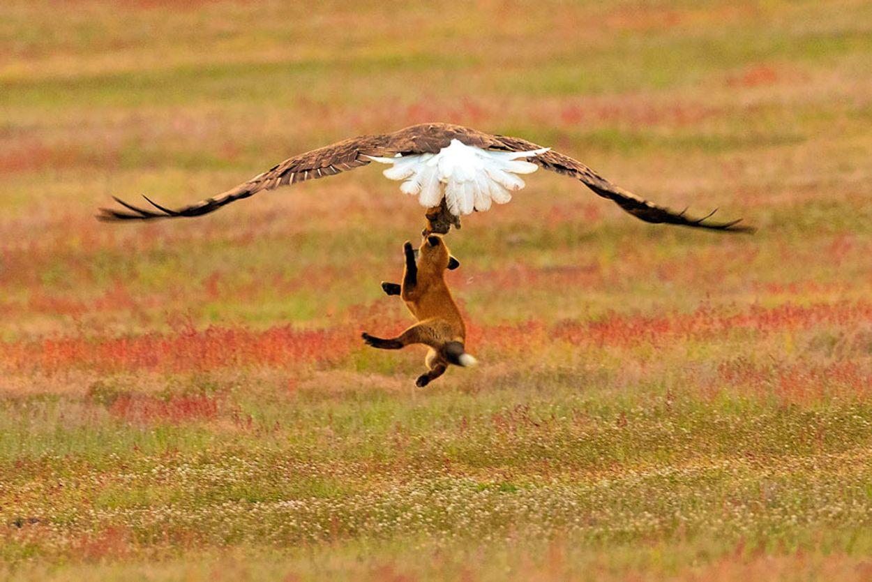 5b07de90cfd59-wildlife-photography-eagle-fox-fighting-over-rabbit-kevin-ebi-7-5b0661f0f123c__880