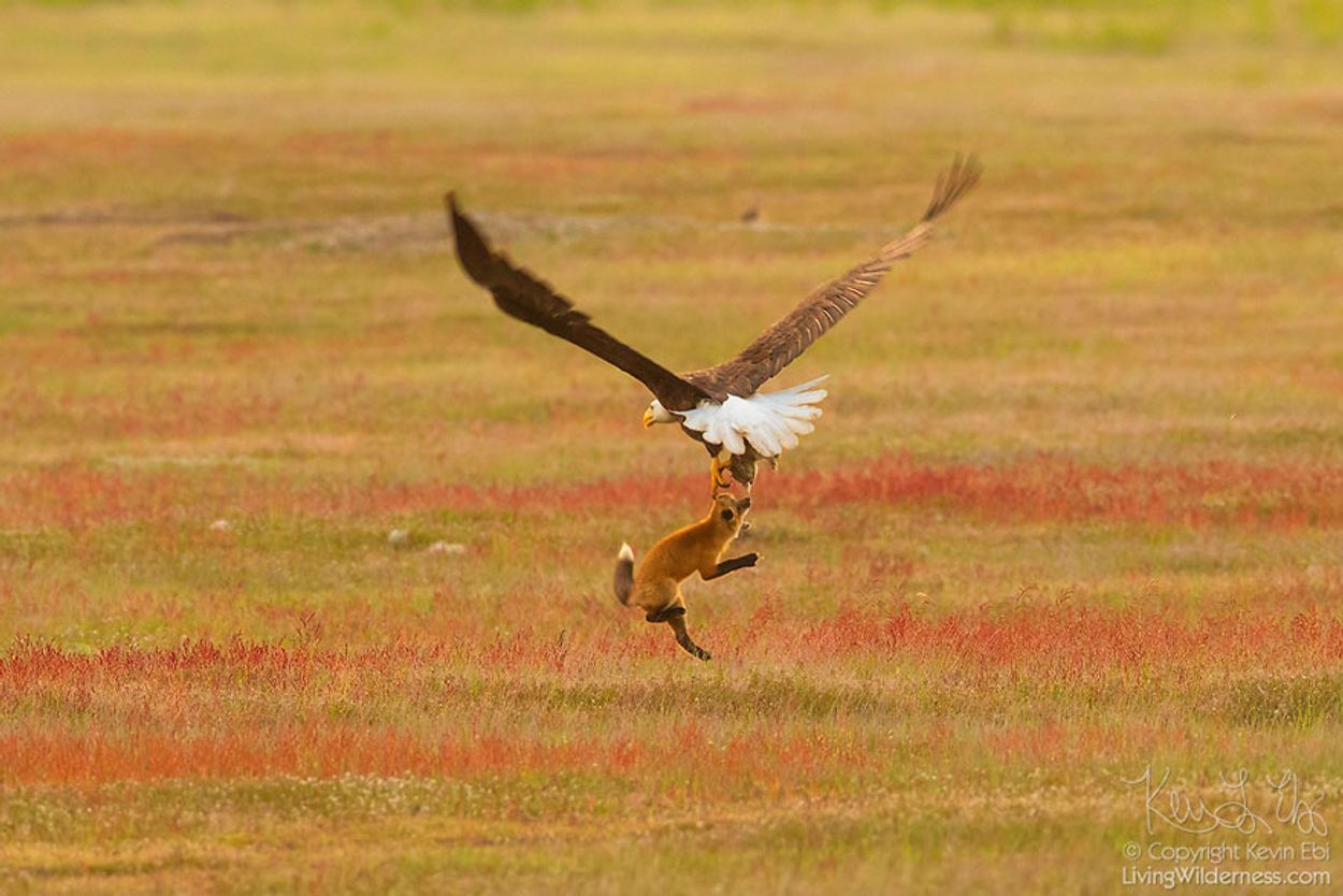 5b07de924d029-wildlife-photography-eagle-fox-fighting-over-rabbit-kevin-ebi-2-5b0661e5b1a11__880