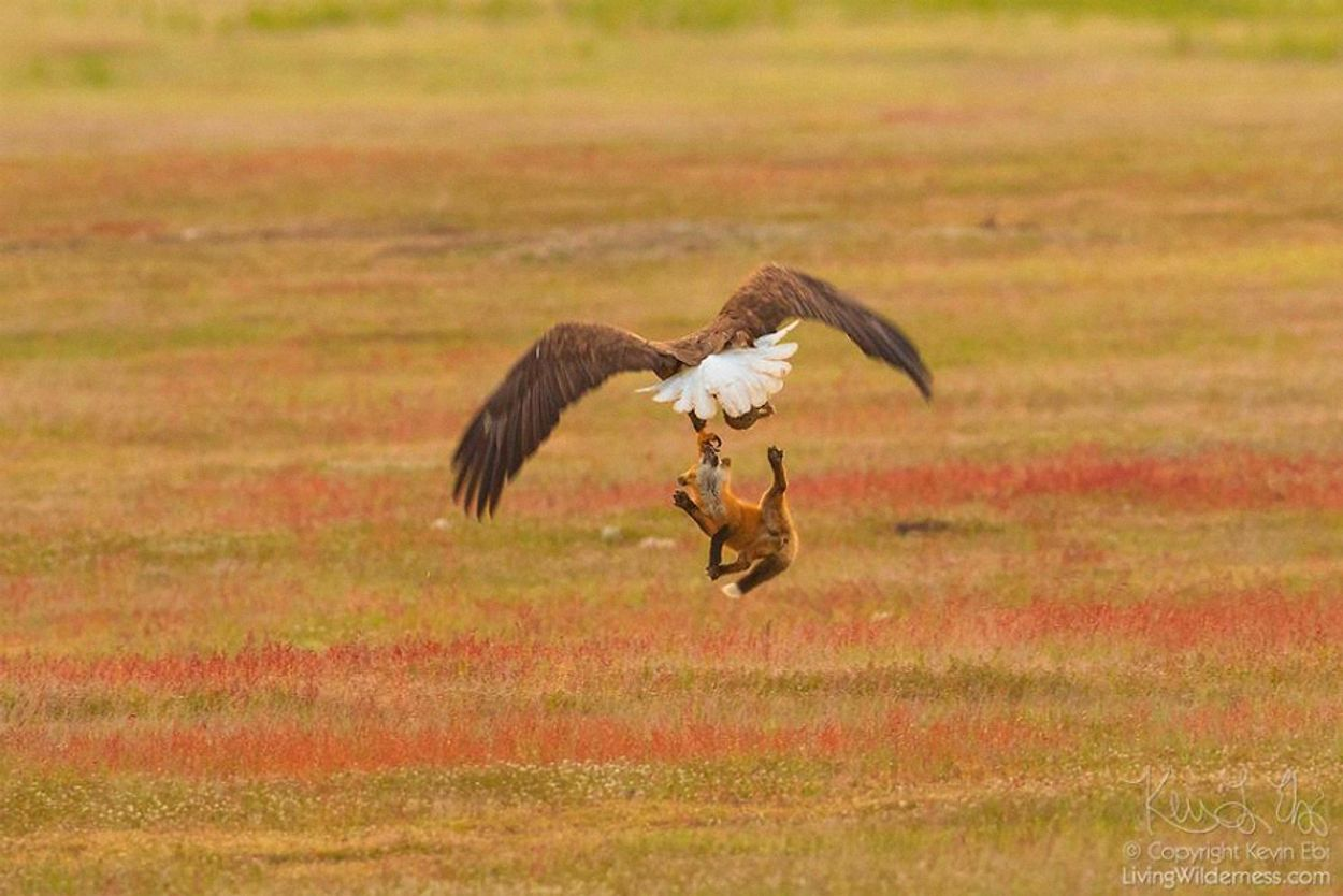 5b07de918459b-wildlife-photography-eagle-fox-fighting-over-rabbit-kevin-ebi-12-5b0661fa2ab13__880