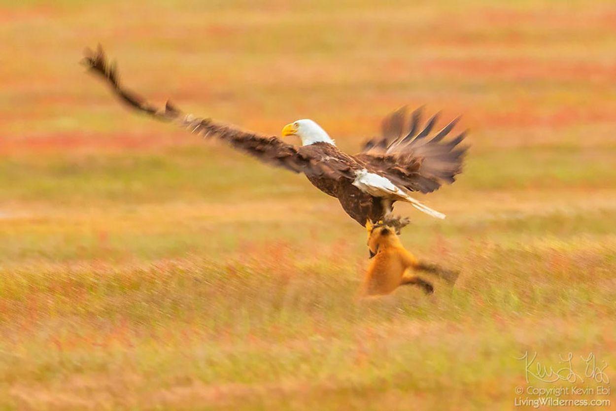 5b07de8f8b743-wildlife-photography-eagle-fox-fighting-over-rabbit-kevin-ebi-1-5b0661e3e2b7e__880