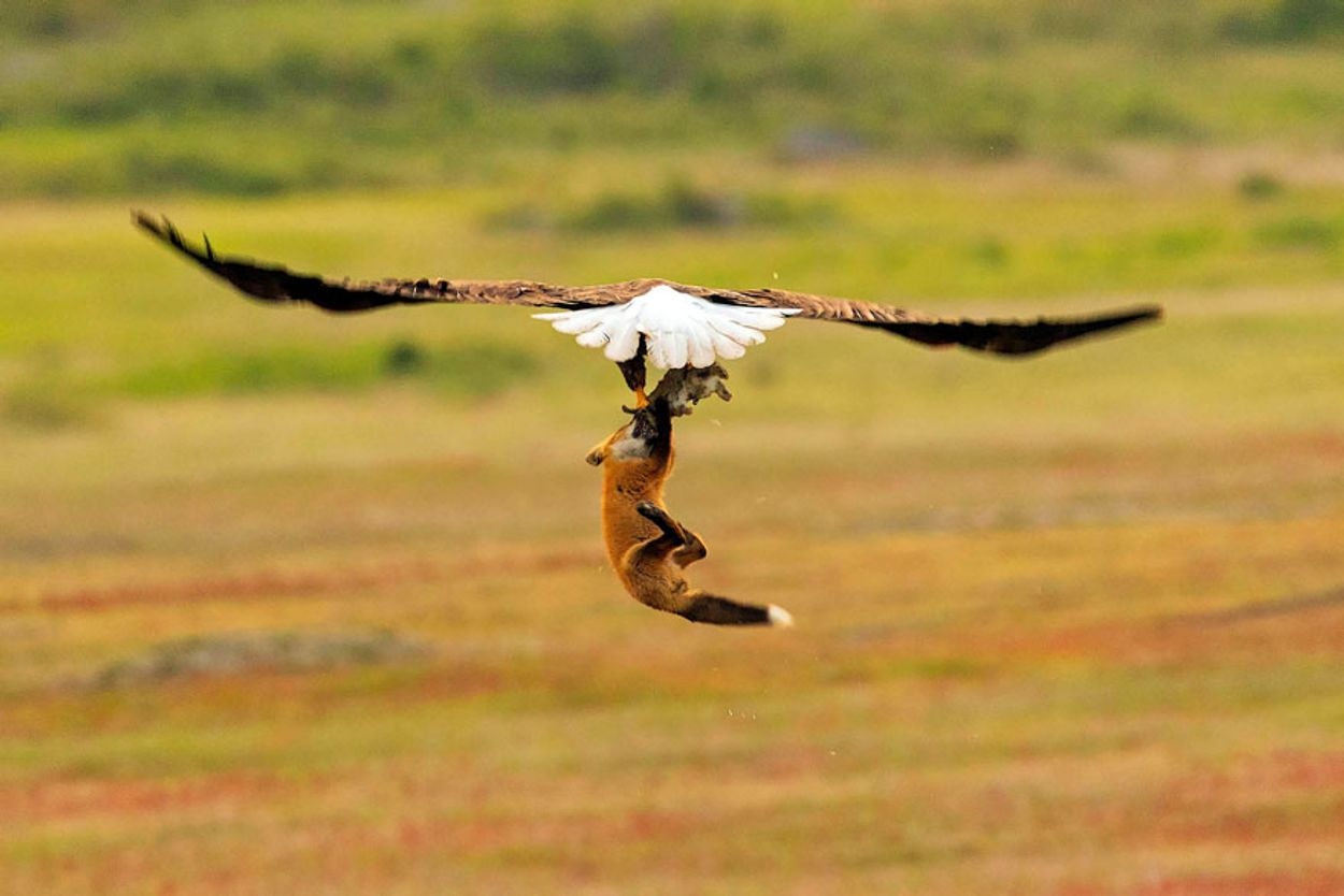 5b07de8fd8604-wildlife-photography-eagle-fox-fighting-over-rabbit-kevin-ebi-5-5b0661ebb3686__880