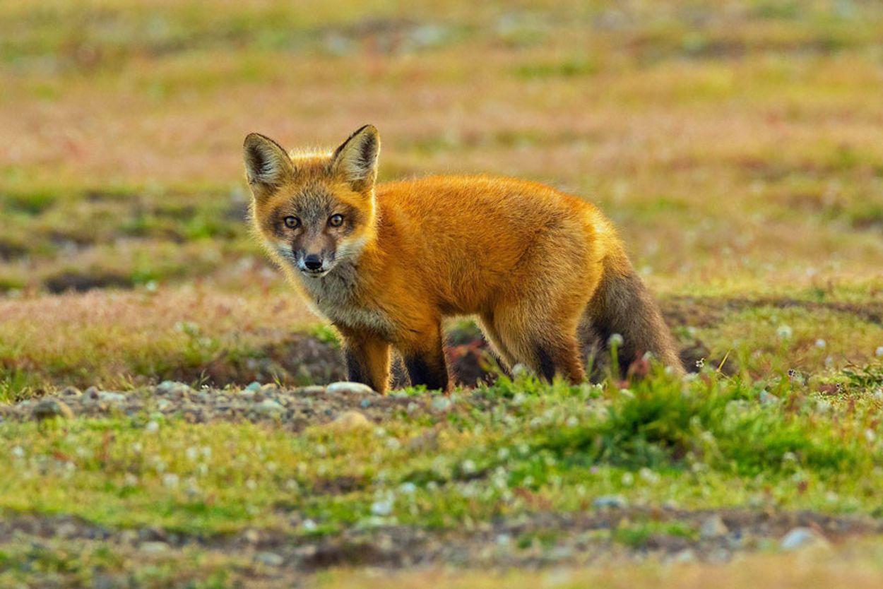 5b07de93013b7-wildlife-photography-eagle-fox-fighting-over-rabbit-kevin-ebi-11-5b0661f866c0c__880