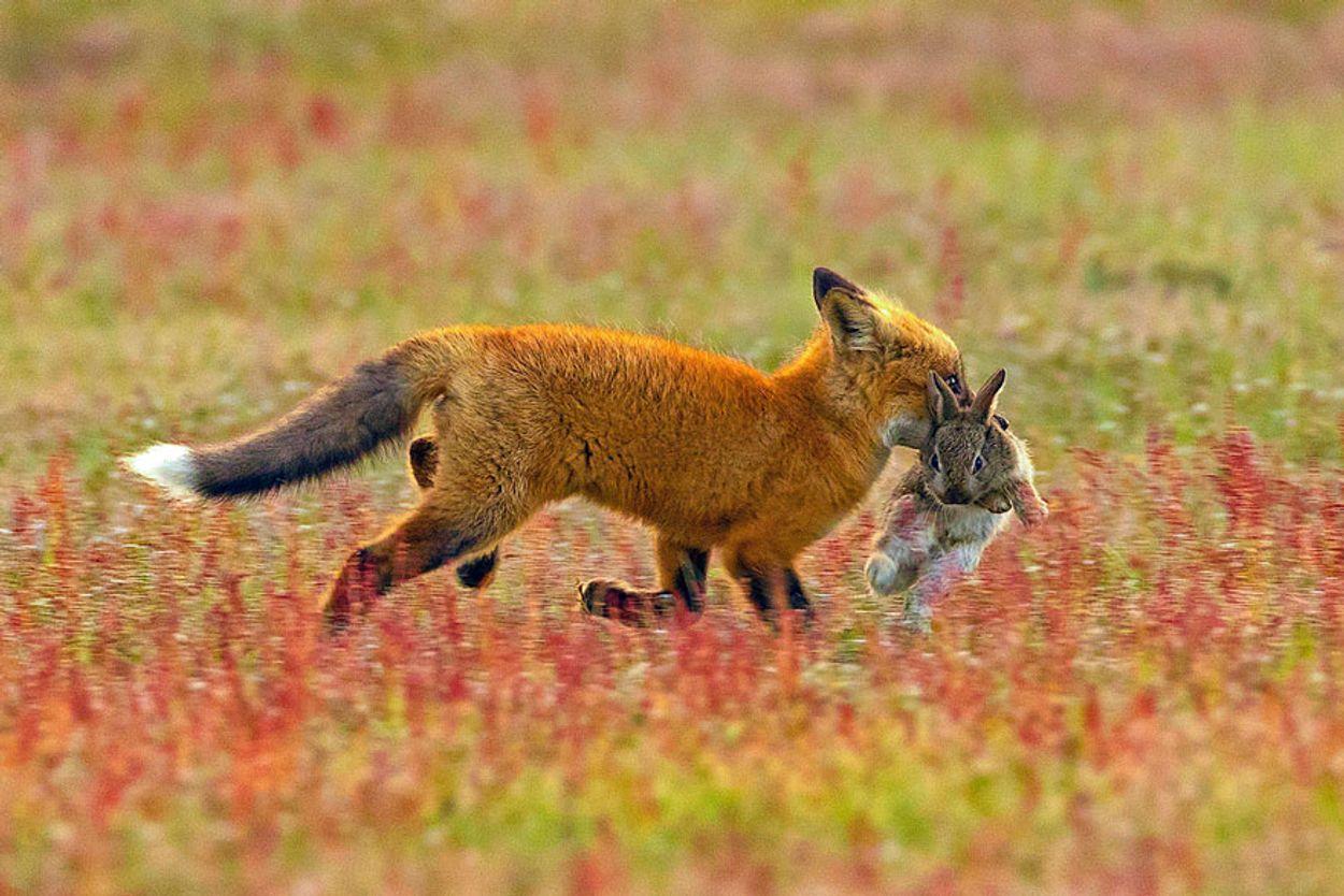 5b07de8f2bc7d-wildlife-photography-eagle-fox-fighting-over-rabbit-kevin-ebi-3-5b0661e7e5168__880