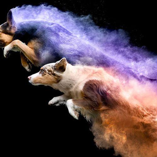 Afbeelding van Web Draait Door: honden springen met kleurenpoeder
